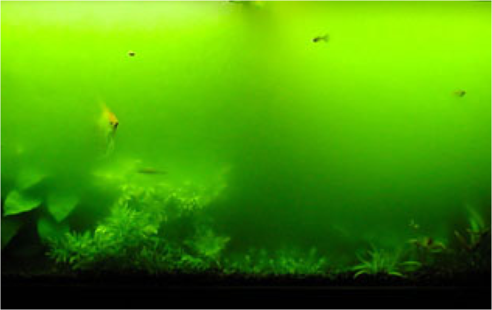 Alger i akvarium monybloggen for What causes algae in fish tanks
