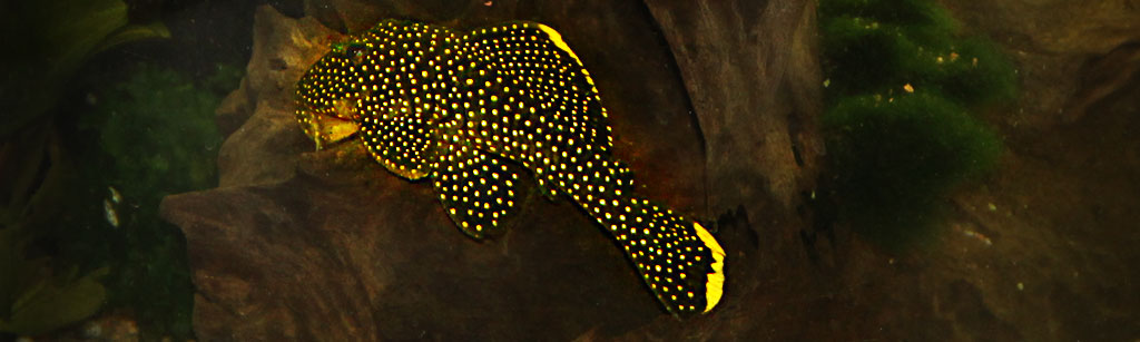 Golden Nugget Baryancistrus xanthellus